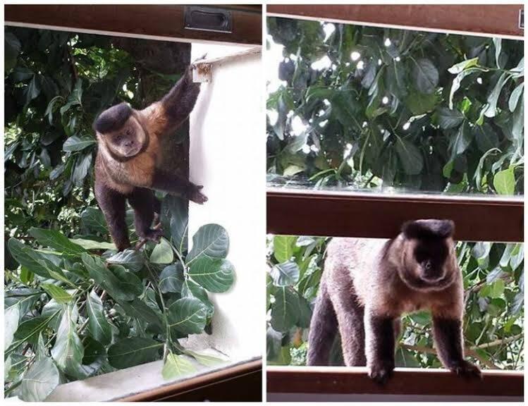 Macacos na Major Rubens Vaz, na Gávea: que tal acordar e dar de cara com um bicho desse tamanho no quarto? / Foto: Kika Osward