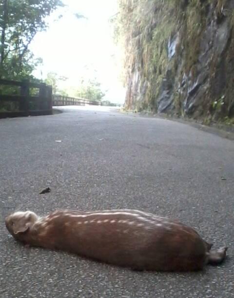 Registro da paca atropelada no último fim de semana no Parque Nacional da Tijuca: em agosto, houve o atropelamento de 32 mamíferos no intervalo de uma semana / Foto: Plínio Barboza