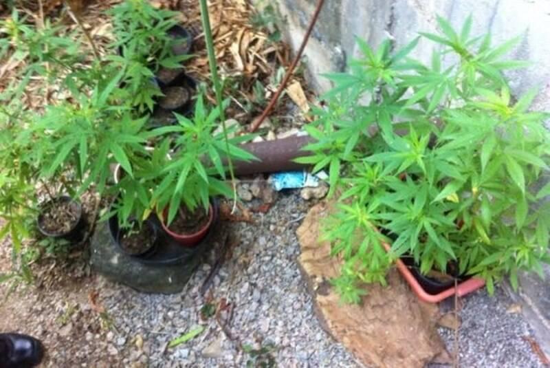 Maconha: pés da planta encontrados na casa de um professor no Humaitá / Foto: O Dia