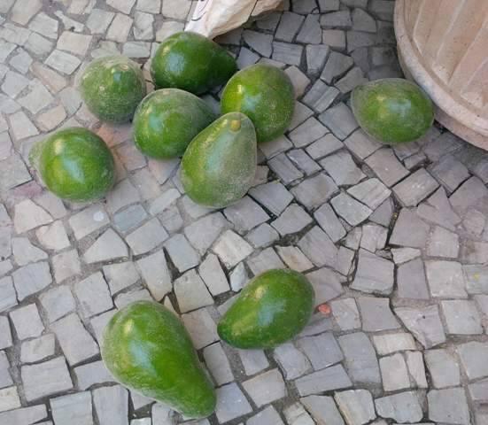 Flagrante dos abacates colhidos na rua Alberto de Campos: cena de um Rio que surpreende/  Foto: divulgação