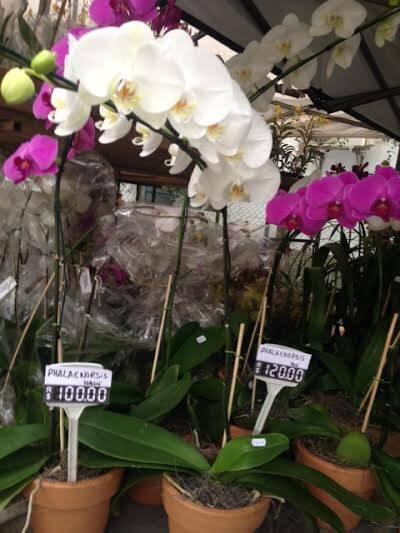 """""""Orquídeas na Primavera"""": diferença de preços grande desde o ano passado / Foto: Lu Lacerda"""