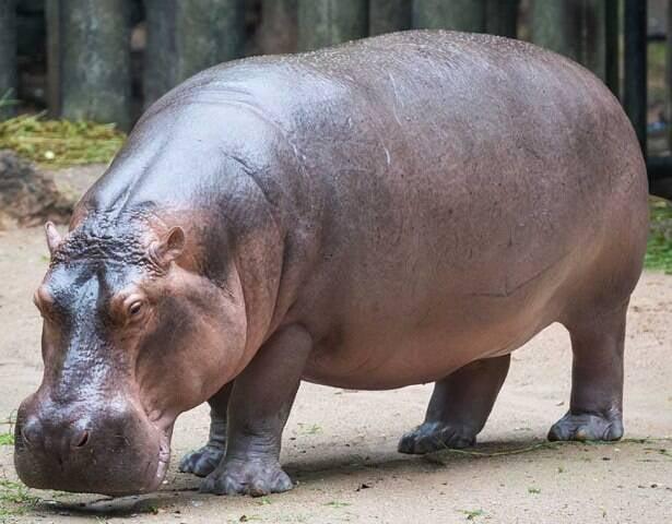 Hippo: ilustrando com um animal de verdade para a data dar certo / Foto: Google