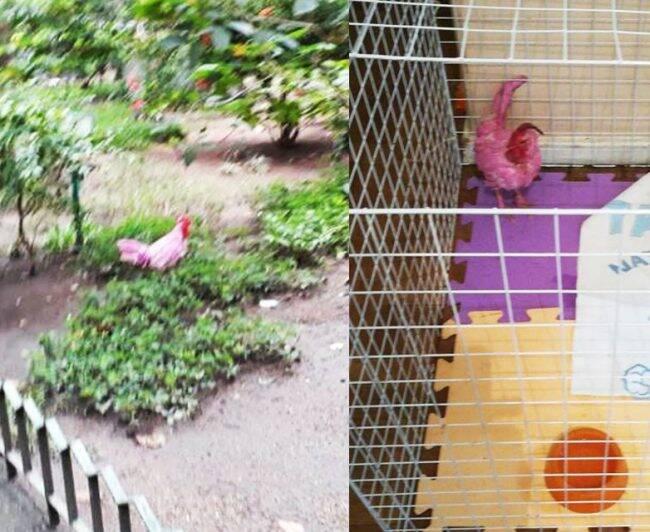 Na primeira foto, Sandra Greenhalgh com Pink no colo; acima o galo preso no canteiro do prédio e já com os primeiros cuidados na gaiolinha /Fotos: Reprodução Facebook